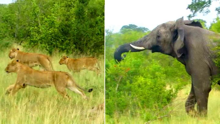 Turistene jubler når de ser løvenes egentlige «konge»