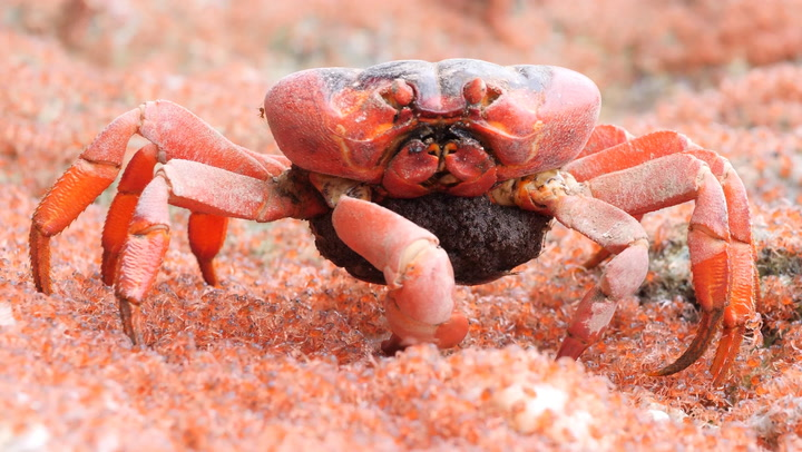 This Surreal Video Of A Crab Eating Baby Crabs Is A Good Reminder That Nature Is Gnarly As Hell