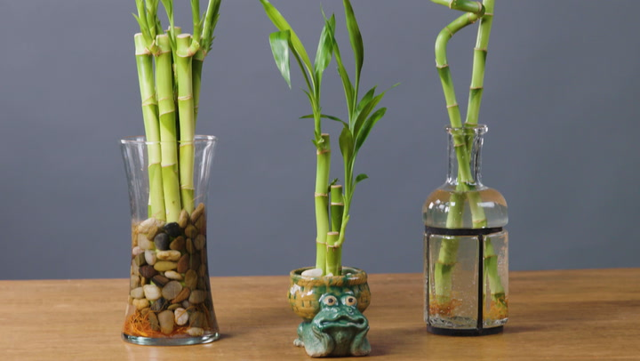 Watch Now: How to Take Care of Lucky Bamboo