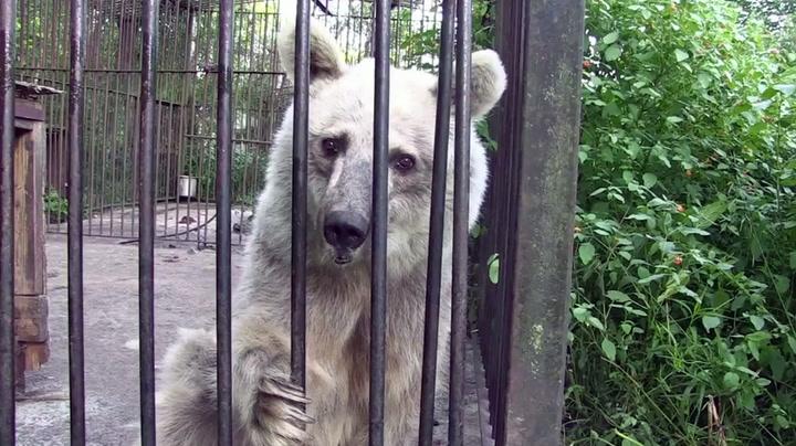 Pensjonerte sirkusbjørner fikk endelig kjenne friheten