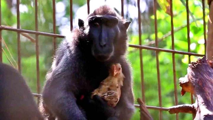 Ensom ape adopterte kylling