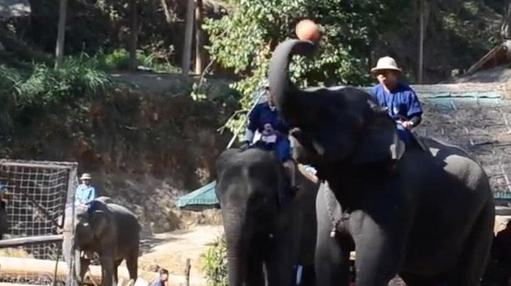 Og du som ikke trodde elefanter kunne spille basket ...