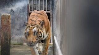 Carrera contrarreloj en Tailandia para salvar tigres confiscados