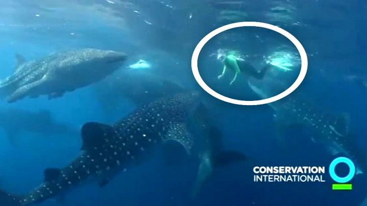 Wow, her svømmer han frivillig med verdens største haier
