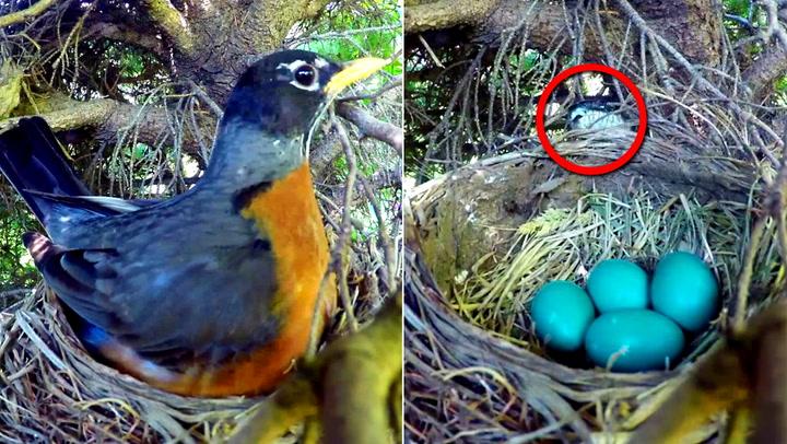 Naturelsker ville følge eggklekkingen – fikk sjokk da han sjekket filmen