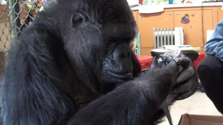Rørende møte mellom gorilla og kattunger
