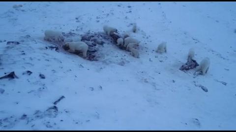 Cincuenta y seis osos polares, en las afueras de una aldea en el extremo noreste de Rusia