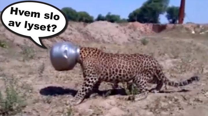 Leopard fikk trøbbel på jakt etter vann