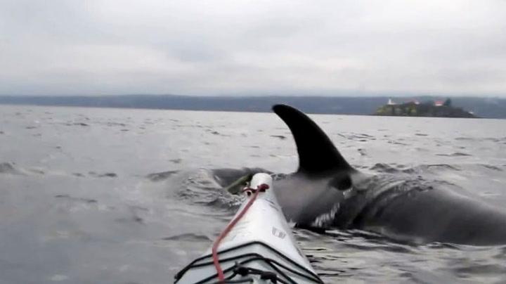 Kajakk nesten veltet av hval