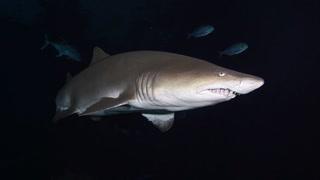 Shark Week Las Vegas – VIDEO