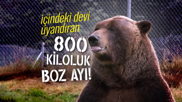 İçindeki devi uyandıran 800 kiloluk boz ayı