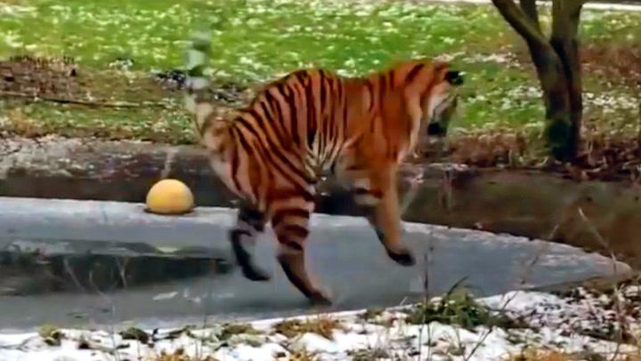 Tiger fikk ublidt møte med dansk glattis