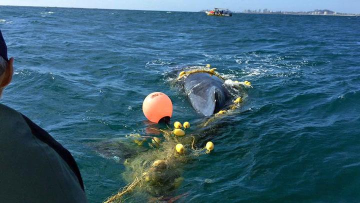 Hjelpeløs hval havnet i garnet