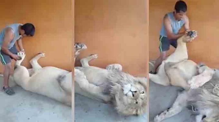 Denne løven eeelsker fotmassasje