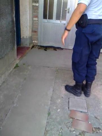 Llegó a la puerta de su casa y se encontró con un yacaré esperándolo