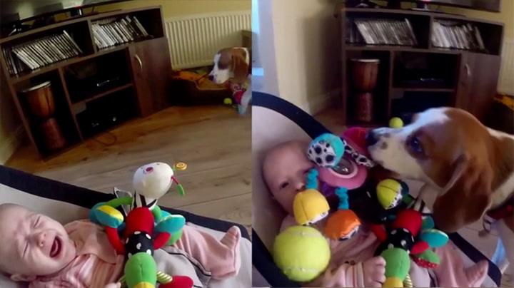 Angrende hund prøver å gjøre det godt igjen