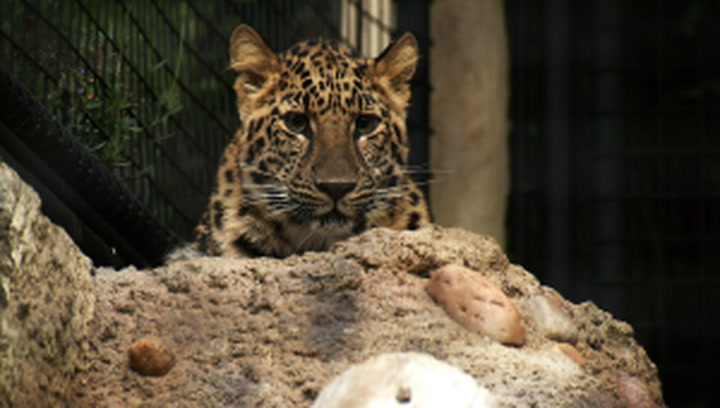 These Adorable Amur Leopard Cubs are a Critically Endangered Species
