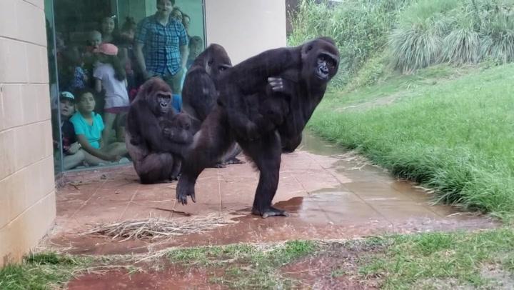 La reacción de unos gorilas ante la lluvia: El nuevo vídeo viral que te hará reír