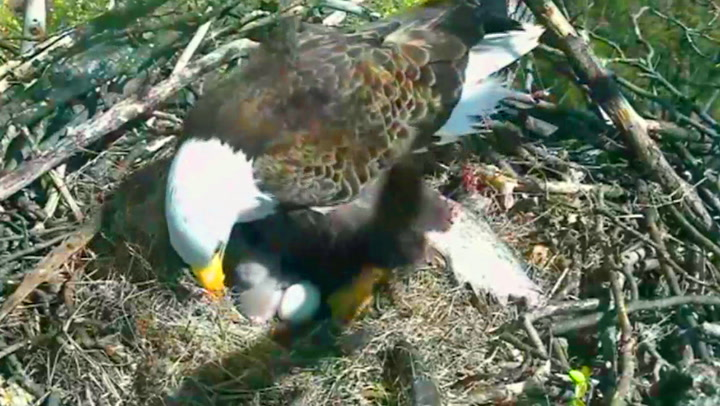 Tittei! Her ser ørnungen mor for første gang