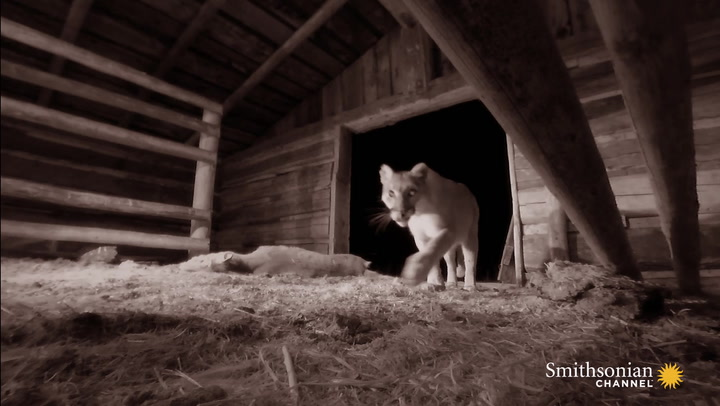 This Mountain Lion Hides Her Kills in Abandoned Ranches
