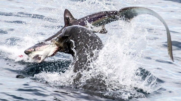 Hai mot sjøløve: Se den sjeldne dødskampen