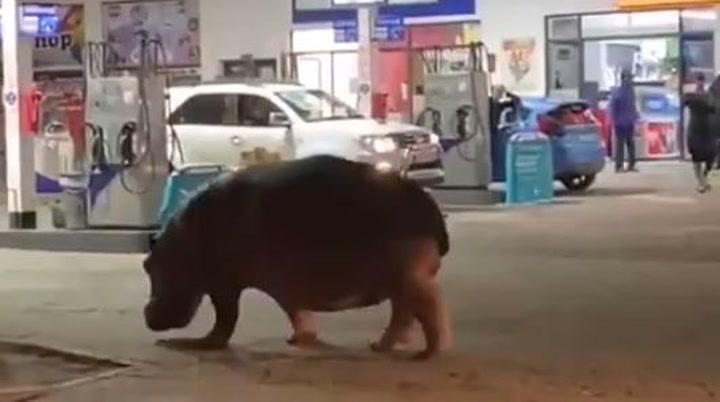 Un hipopótamo se pasea por las calles de una ciudad de Sudáfrica