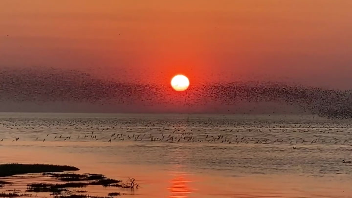 Knot birds create stunning flocking patterns in front of setting sun