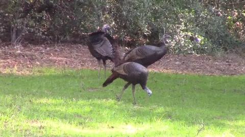 Florida ofrece un Thanksgiving en el que al pavo hay que cazarlo