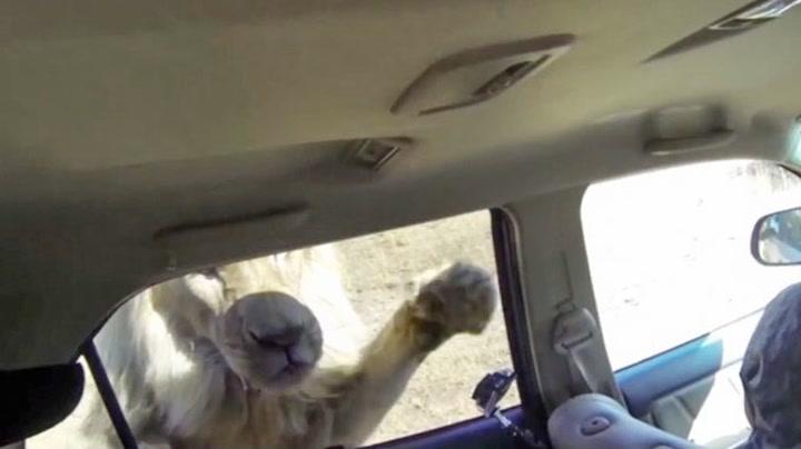 Sulten løve kaster seg over bilen