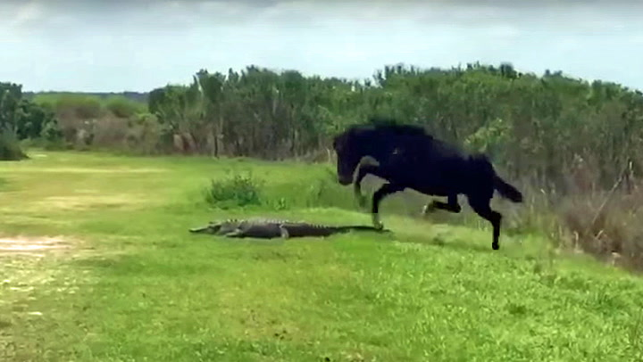 Fryktløs hest angrep alligator