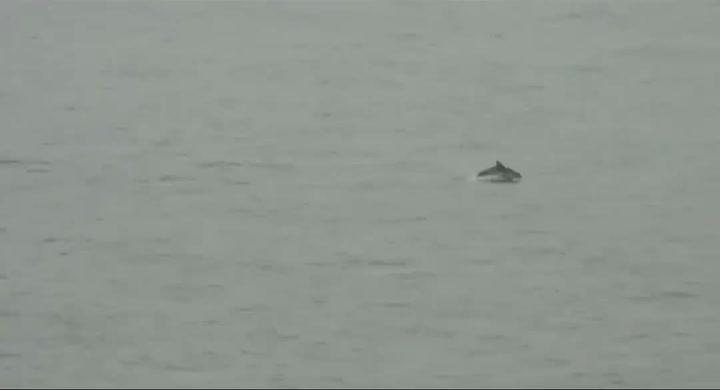 Avistan delfines en la costa de Sant Pol de Mar