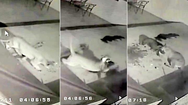 Halsbåndet reddet hundens liv da pumaen angrep