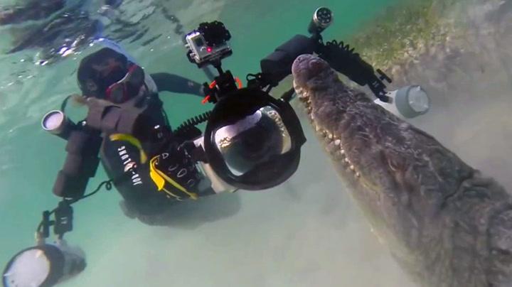 Her svømmer de ansikt til ansikt med krokodiller