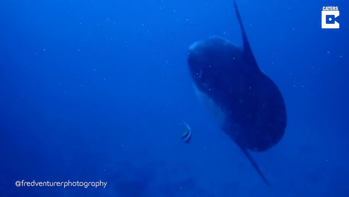 This Video Of Divers Swimming Next To A Mola Mola Fish Really Puts Into Perspective How Ginormous This Fish Is