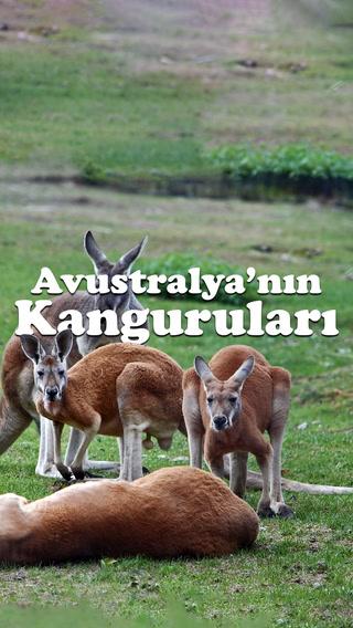 Kesenin ağzını açmayan kangurular
