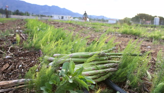 Asparagus harvesting at Gilcrease Orchard