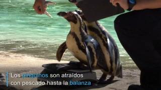 Control anual de peso... en el zoo