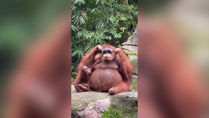 Orangutan wears woman's sunglasses after they fall into zoo enclosure