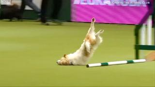 Hundens opptreden får kommentatoren til å bryte ut i latter. Nå er videoen sett av millioner