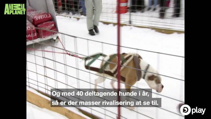 Er det her verdens stærkeste hunde?