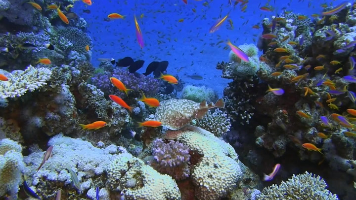 Is the answer to saving the world's reefs in the Red Sea?
