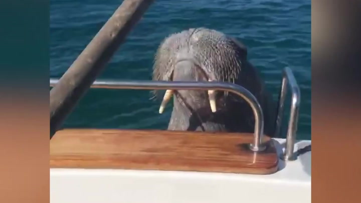 Wally the walrus tries to board tourist boat near Isles of Scilly