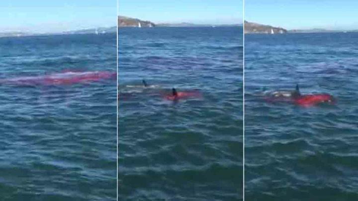Plutselig angriper hvithaien i havna