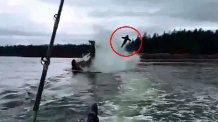 Sjøløve kastes opp i lufta av hval