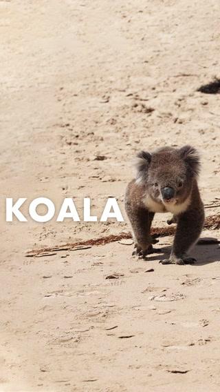 Kızgın kumlardan şirin koalaya