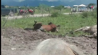 Mueren ocho vacas, toros y caballos electrocutados en Choluteca