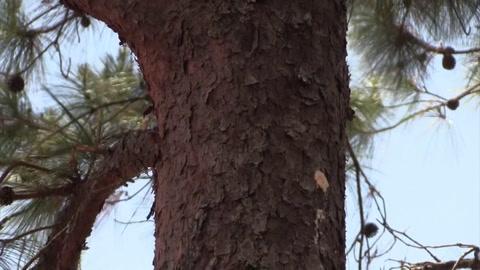Plaga del gorgojo descortezador de pino amenaza con convertirse en epidemia