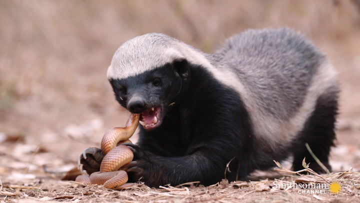 A Honey Badger and Mole Snake Fight to the Death | Smithsonian Magazine