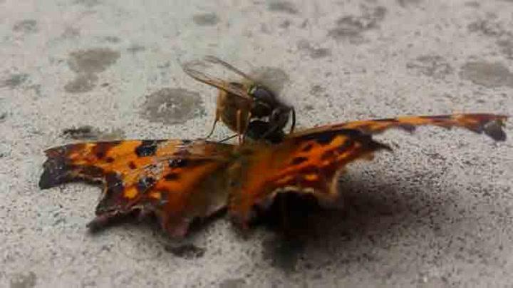 Vepsen spiser hodet til sommerfuglen