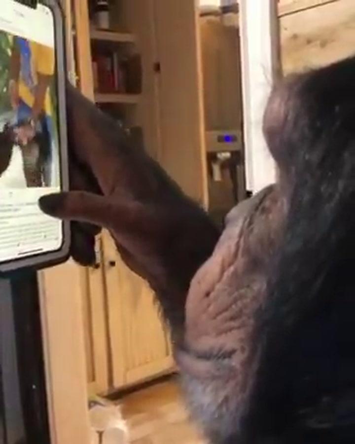 Este es el chimpancé instagramer que ya se ha vuelto viral